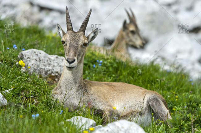 Young ibex lying in the grass, Savoy, France