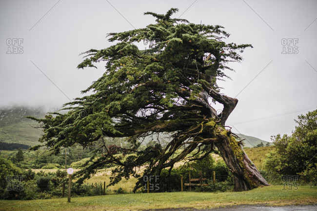 Inclined tree marked by the weather, Ireland