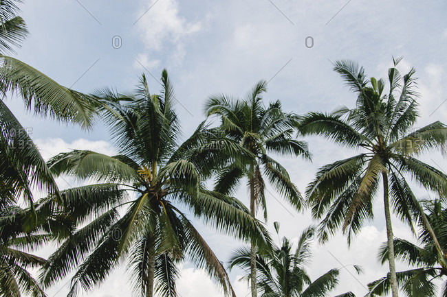 Palm trees in Ubud Indonesia low angle view