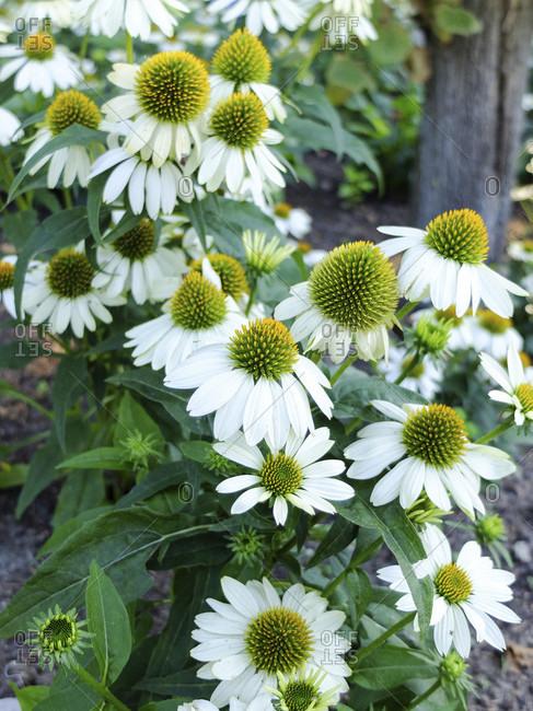 """Sun hat """"PowWow White"""" (Echinacea purpurea)"""