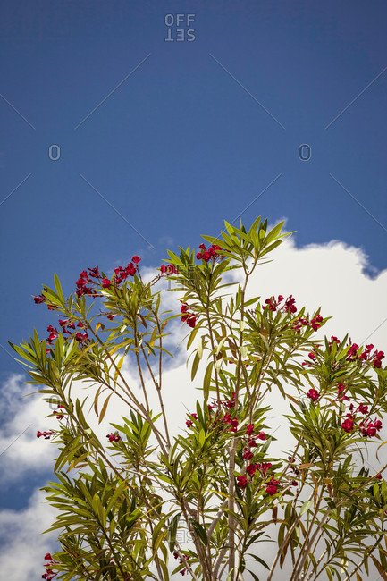 Oleanders, plants, Pisa, Tuscany, Italy