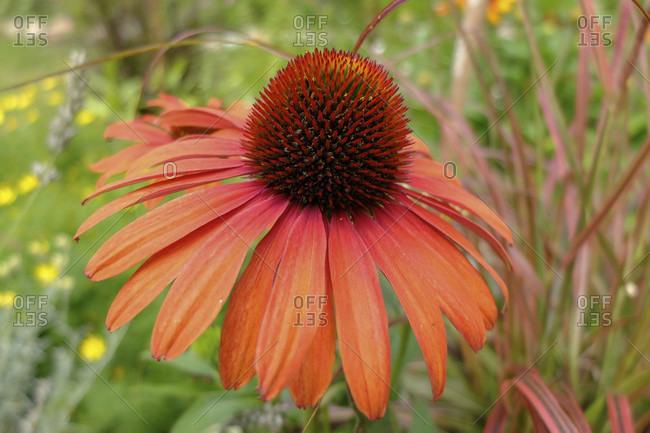 Sun hat 'Julia' (Echinacea purpurea)