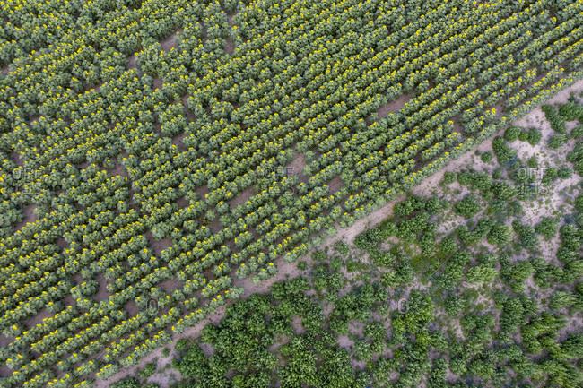 Sunflower field (Taken with a drone)