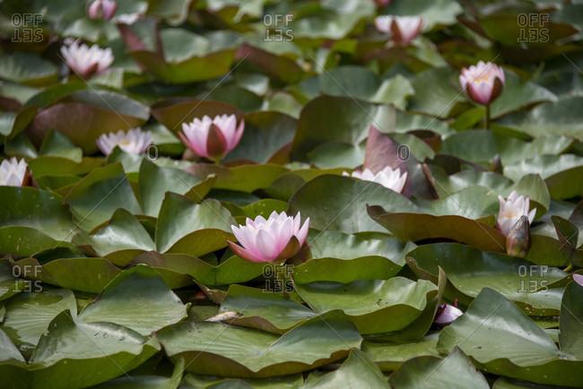 Water lilies bloom in Worlitzer Park