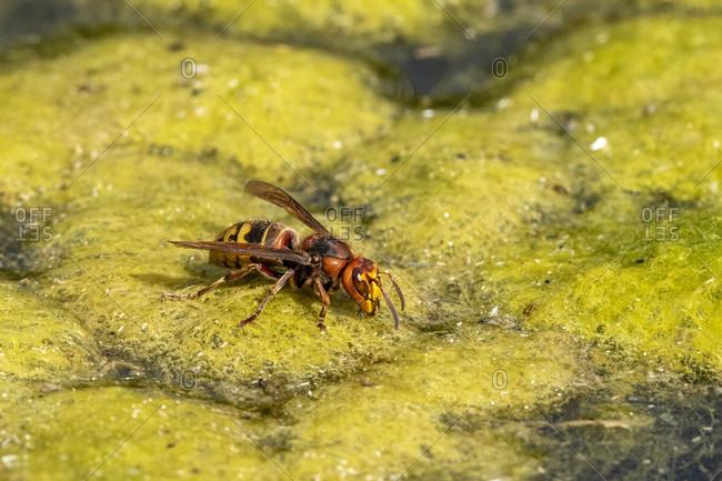Hornet (Vespa crabro) by a pond.