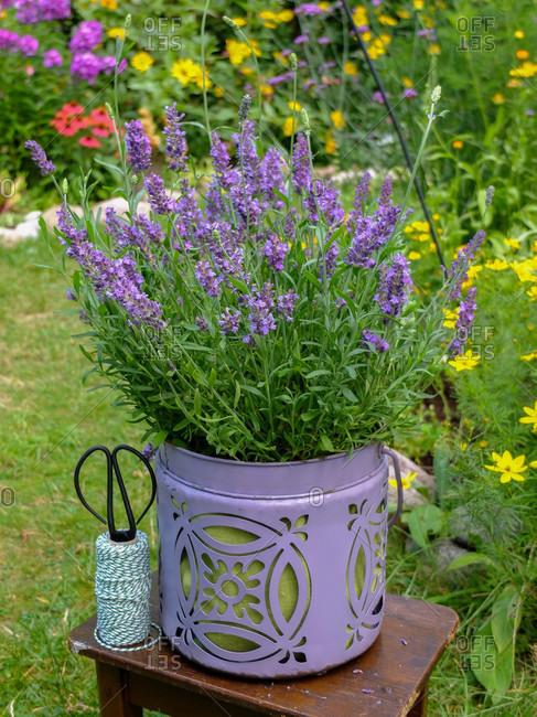 Lavender in the decorative pot