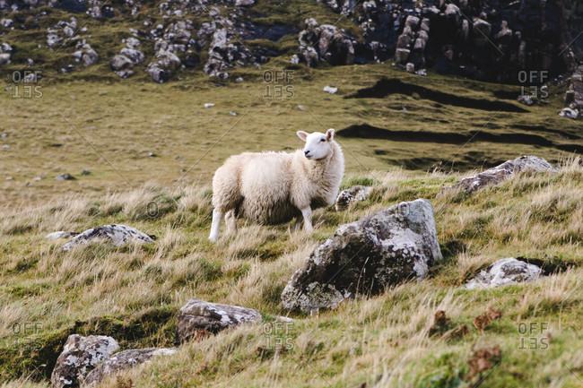 Sheep in Scotland in a pasture