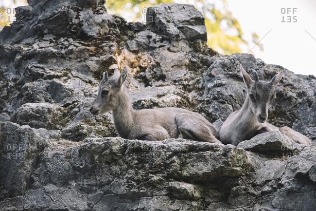 Alpine ibex resting on rocks
