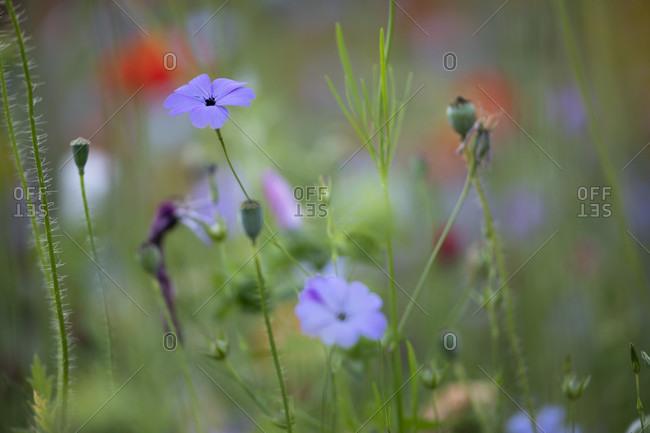 Flax on a wildflower meadow,