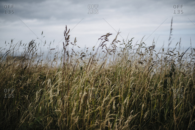 Tall grasses with cloudy sky