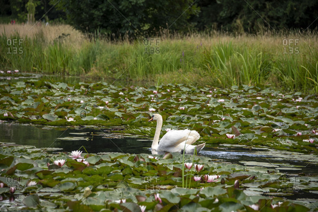 Swan in the water lily pond