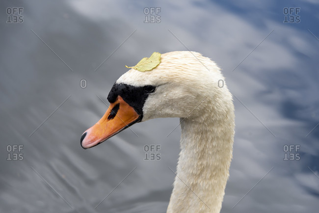 Swan with leaf on its head