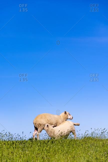 Clear blue sky over two sheep playing in summer meadow