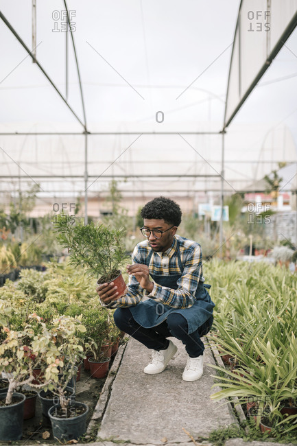 Male farmer crouching while examining potted plant in greenhouse