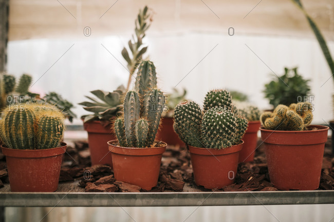 Cactus plants growing in greenhouse