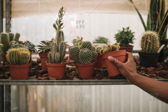 Hand of young botanist picking up potted cactus plant at garden center