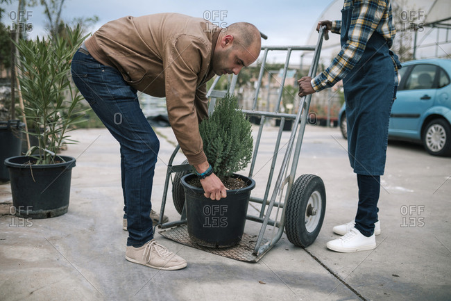 Mature owner picking up potted pine tree while worker holding cart at plant nursery