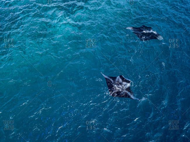 Sea Devils swimming in blue sea at Maldives