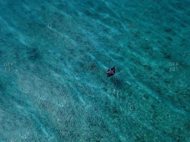 Manta Ray fish swimming in turquoise sea at Maldives