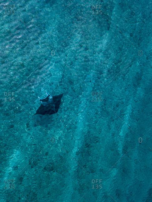 Drone shot of sea devil swimming in turquoise sea at Maldives