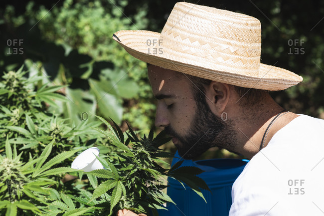 Young male farmer smelling hemp plant at farm on sunny day