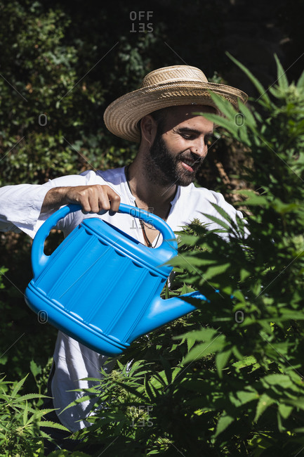 Smiling farmer watering hemp plants on sunny day