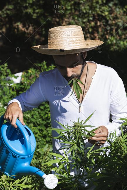 Farmer watering hemp plants on sunny day