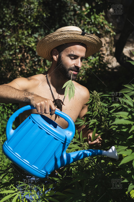 Shirtless young farmer watering hemp plants on sunny day