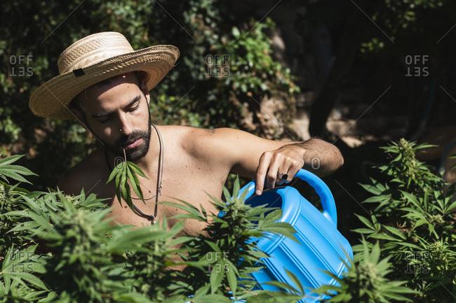 Shirtless farmer watering hemp plants on sunny day