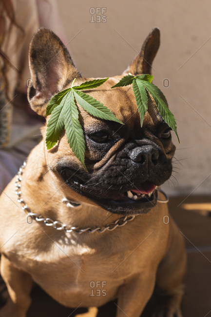 Happy French Bulldog with hemp leaves on his head