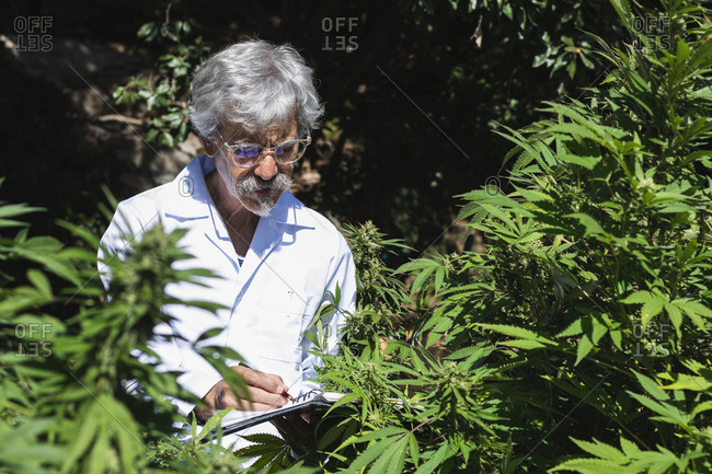 Mature scientist examining hemp plants while writing in notebook