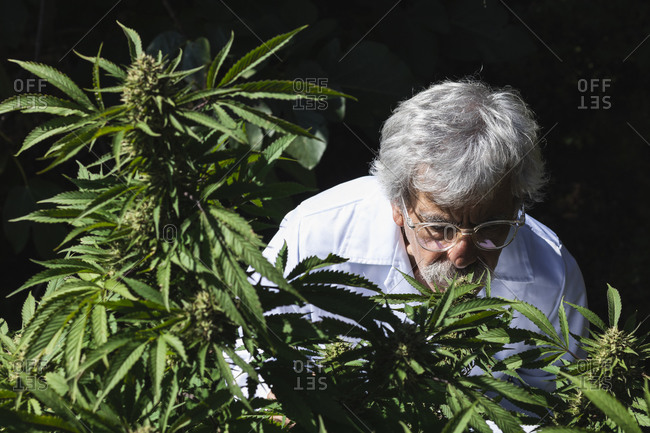 Male ecologist smelling marijuana plant at farm