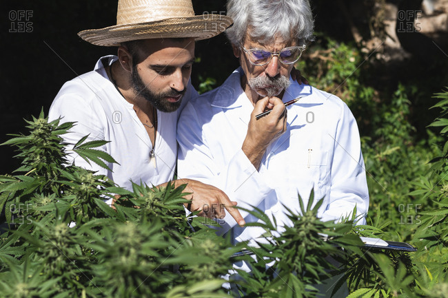 Farmer and ecologist discussing over hemp at farm