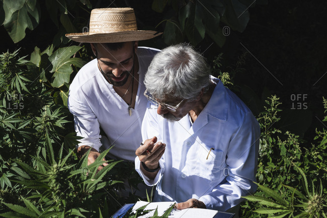 Male ecologist and farmer discussing about hemp plants in farm
