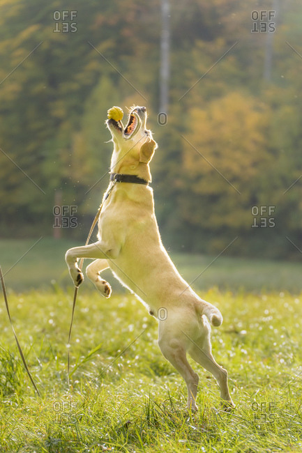 Labrador Retriever catching toy while jumping on grass during autumn