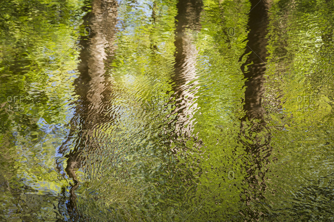 The reflection of three spring green trees dancing upon the waters of Cedar Creek in Congaree National Park near Columbia, South Carolina