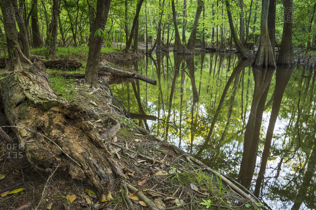 Trees reflecting in the waters of Cedar Creek in Congaree National Park near Columbia, South Carolina