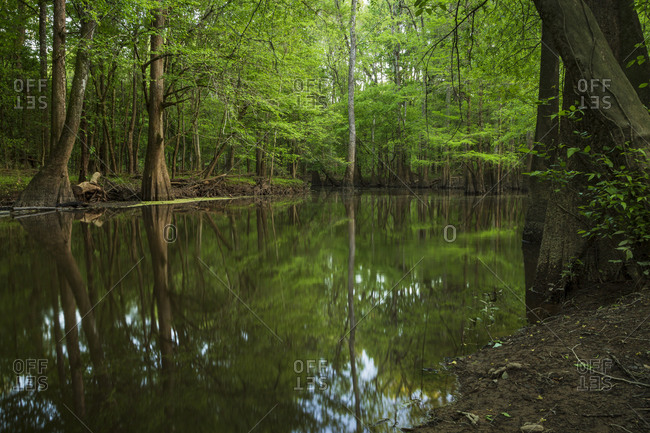 Green trees in spring reflecting in the waters of Cedar Creek in Congaree National Park near Columbia, South Carolina
