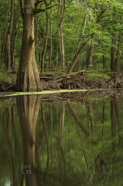 Bald Cypress trees reflecting in the waters of Cedar Creek in Congaree National Park near Columbia, South Carolina