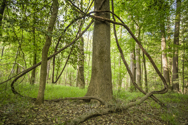 Symmetrical vines climb towards the sky as they cling to a tree within Congaree National Park just outside of Columbia, South Carolina