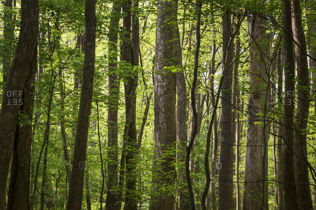 Tall Bald Cypress trees in Congaree National Park just outside of Columbia, South Carolina