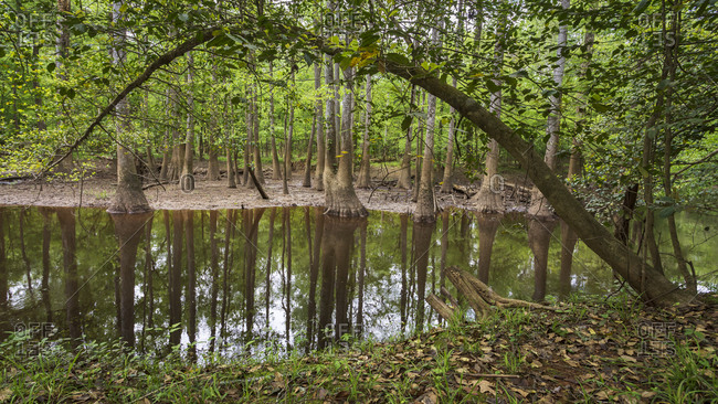 Some of the many cypress trees a visitor sees along Cedar Creek within Congaree National Park