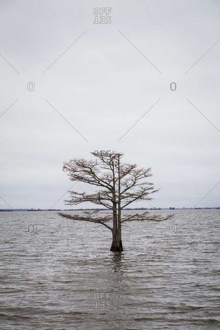 Lone Cypress within the Lake at Mattamuskeet National Wildlife Refuge