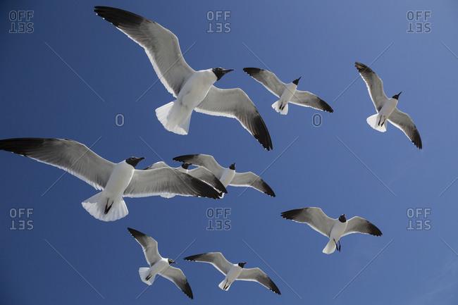 Seagulls circle overhead in hopes of a food handout in blue sky, Ocracoke Island, North Carolina