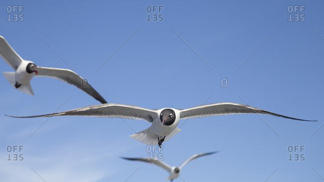 Seagull flock flying in sunny blue sky, Ocracoke Island, North Carolina