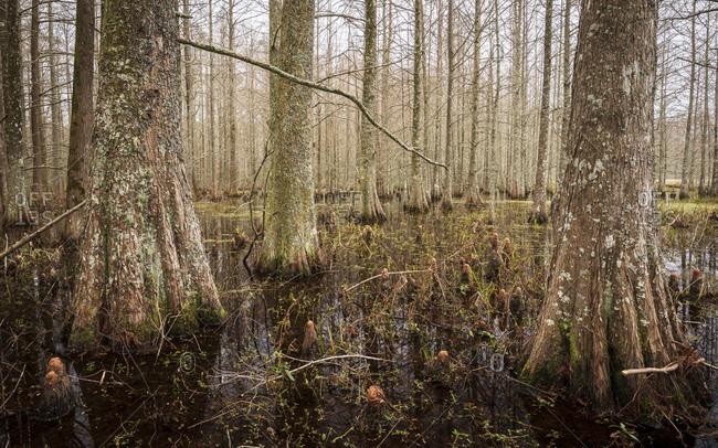 Bald Cypress trees in Mattamuskeet National Wildlife Refugee in North Carolina