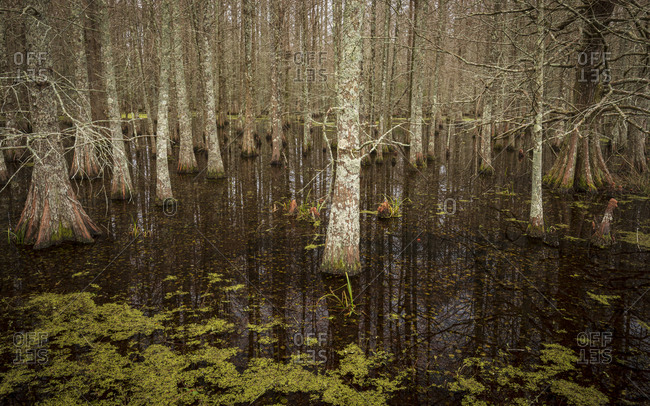 Swamp filled with Bald Cypress trees in Mattamuskeet National Wildlife Refugee in North Carolina
