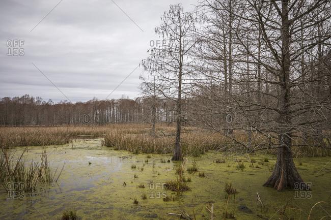 Algae covered swamp filled with Bald Cypress trees in Mattamuskeet National Wildlife Refugee in North Carolina