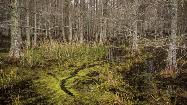 Green algae covering swamp with Bald Cypress trees in Mattamuskeet National Wildlife Refugee in North Carolina