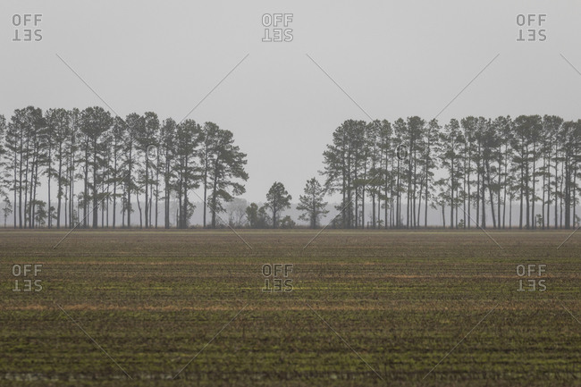 Crop lined with tall trees surrounded by fog in rural North Carolina